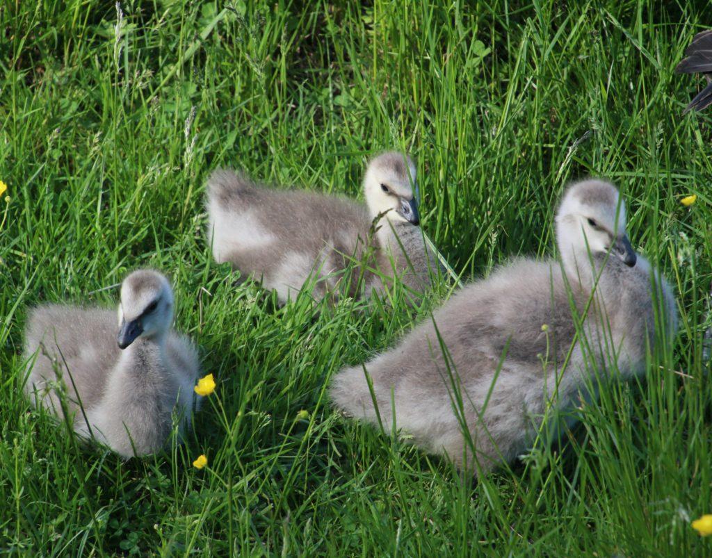 Kolme valkoposkihanhen poikasta nurmikolla.
